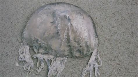 jellyfish stings reported friday volusia