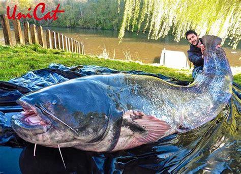 cuisiner un silure un silure de 2m63 la pêche et les poissons