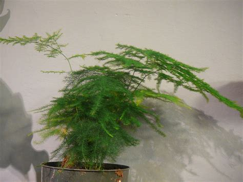 indoor ferns asparagus fern plumosa foxtail the palm room