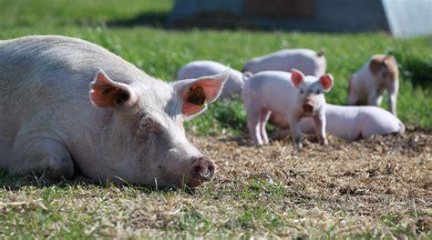 God økonomi i økologiske svin