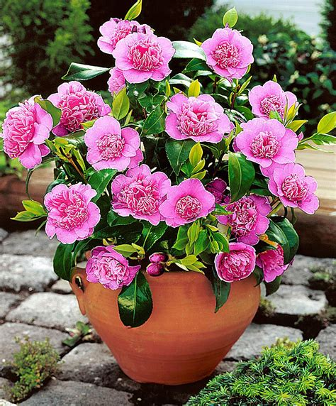 buy ornamental shrubs now camellia italiana bakker