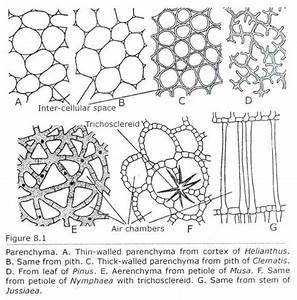 Leaf Tissue Diagram