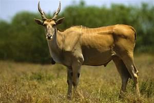Afrikan Antilope : types of antelope ~ A.2002-acura-tl-radio.info Haus und Dekorationen