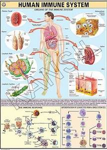Immune System For Human Physiology Chart At Rs 190   Piece