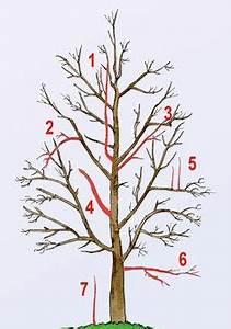 Apfelbaum Schneiden Anleitung : walnussbaum richtig schneiden gardens bonsai and garten ~ Eleganceandgraceweddings.com Haus und Dekorationen