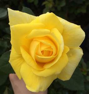 Yellow | Nelson's Florida Roses
