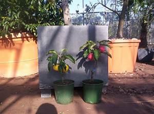 Apfelbaum Für Balkon : neuheit amerikanischer zwergapfelbaum f r den wintergarten ~ Michelbontemps.com Haus und Dekorationen