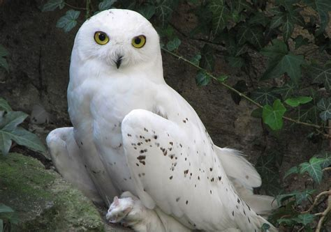 Harry Potter Wallpaper Hedwig Owl by 20 Owl Wallpapers Backgrounds Images Freecreatives