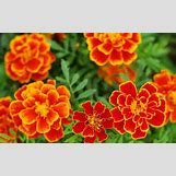 Marigold Flower Wallpaper | 1280 x 800 jpeg 132kB