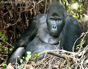 17 Best images about Silverbacks on Pinterest   Crater ...