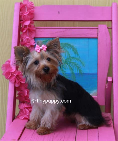 yorkie haircuts pictures the gallery for gt terrier teddy haircuts 2448