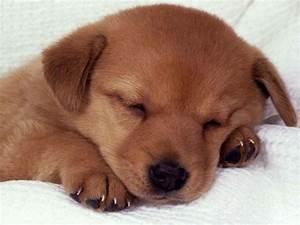 Sleeping Puppy - Dogs Wallpaper