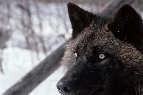 Black Wolf Wallpaper Laptop by 46 Wolf Wallpapers 183 Free Stunning Hd