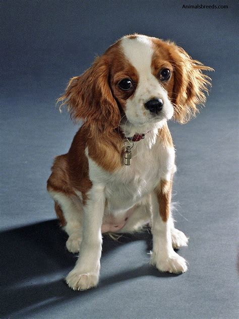 do spaniels shed cavalier king charles spaniel pictures information