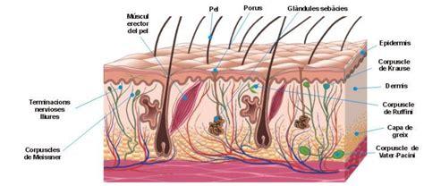 mecanorreceptores organos del tendon de golgi bulbos terminales de krause corpusculos de