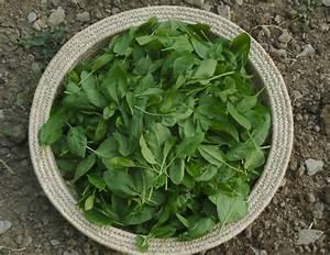 Japanischer Spinat Pflanze : spinat popeyes lieblingsspeise im eigenen garten anbauen plantura ~ Frokenaadalensverden.com Haus und Dekorationen