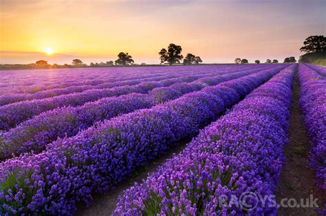 longlensphotography art flower fields sunrise