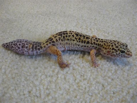 Do Baby Leopard Geckos Shed by File Leopard Gecko With New Jpg