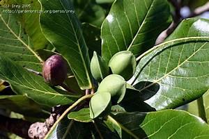 Discover The Medicina Importance Of Terminalia Catappa ...