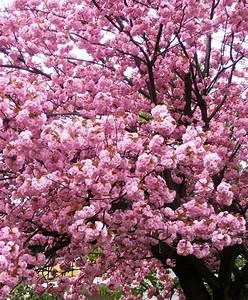Baum Mit Blüten : rosa pracht sch ne heimat fotos pr sentiert von den ~ Michelbontemps.com Haus und Dekorationen