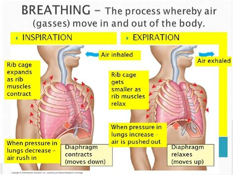 the mechanism of breathing