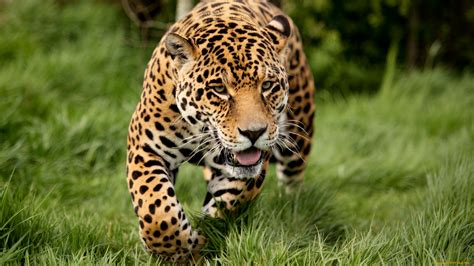 Jaguar Backgrounds by Jaguar Hd Wallpaper And Background Image 1920x1080