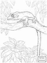 Gecko Leopard Drawing Coloring Pages Getdrawings sketch template
