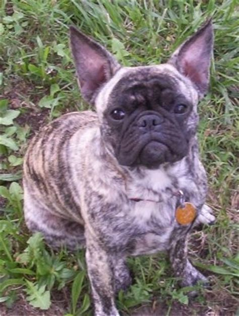 frenchie pug dog breed information  pictures