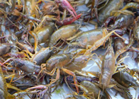 crawfish texas  agrilife extension aquaculture