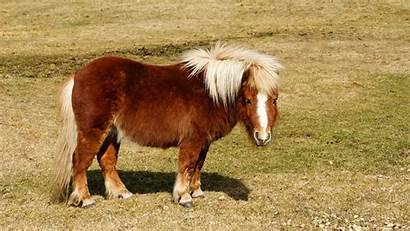 Shetland Pony Desktop Backgrounds Haest Djur