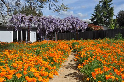 soapplant   native garden  bill hunt california