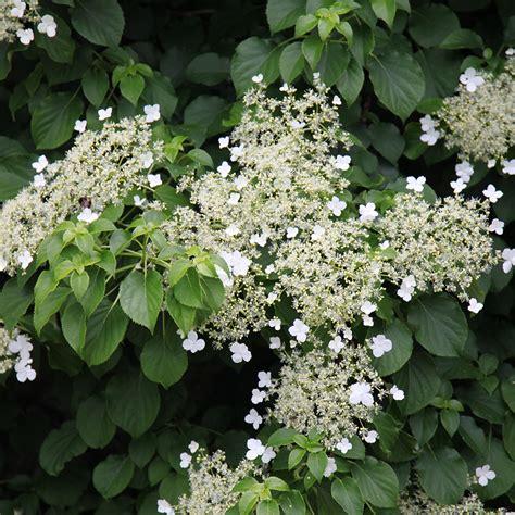 Buy Climbing Hydrangea Hydrangea Anomala Subsp