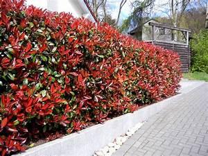 Sichtschutz Bäume Immergrün : die besten 25 heckenpflanzen immergr n ideen auf pinterest sichtschutz pflanzen immergr n ~ Eleganceandgraceweddings.com Haus und Dekorationen