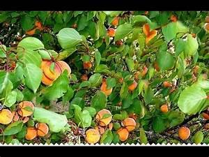 Taille De L Abricotier : l 39 abricotier culture plantation taille entretien vari t s youtube ~ Dode.kayakingforconservation.com Idées de Décoration