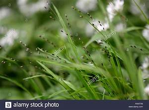 Wood Melick  Melica Uniflora   A Grass In The Family