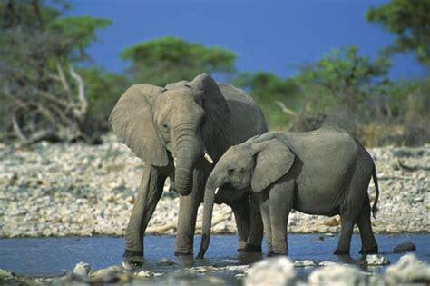 Elephant  Mammal Britannicacom