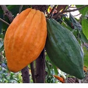 Cocoa  Theobroma Cacao  U0026 39 Trinitario U0026 39