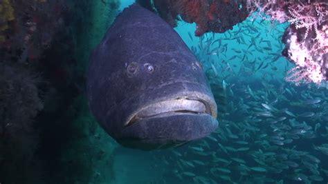 grouper goliath shutterstock