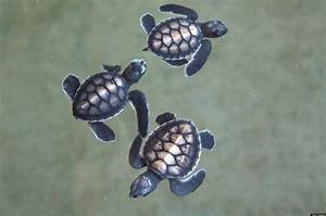 A Billion Baby Sea Turtles?