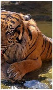 Happy Sumatran Tiger Wallpapers | HD Wallpapers | ID #18206