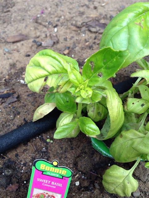 basil plant pests pests of basil