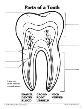 parts of a tooth labeling practice page printable