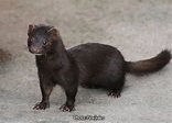 Weasel-like Mammals of New York
