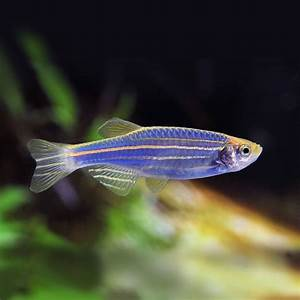 Blue danio photo and wallpaper. Cute Blue danio pictures