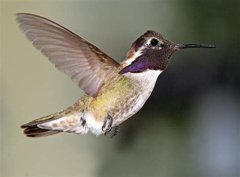 costa s hummingbird song call voice sound