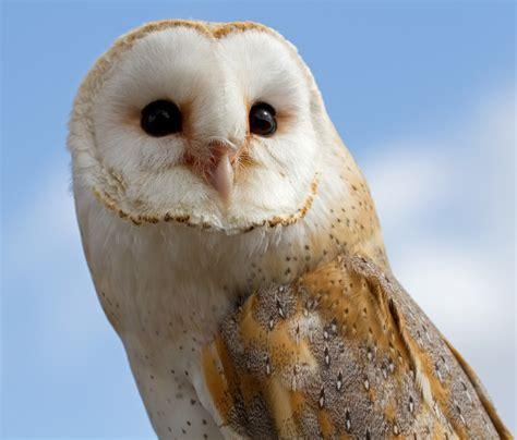 barn owl amazing animal basic facts pictures animals