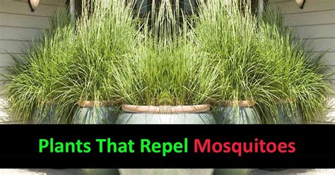 what of plants repel mosquitoes what kind of plants repel mosquitoes