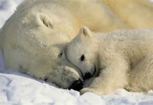 Polar bear « The Endangered Space