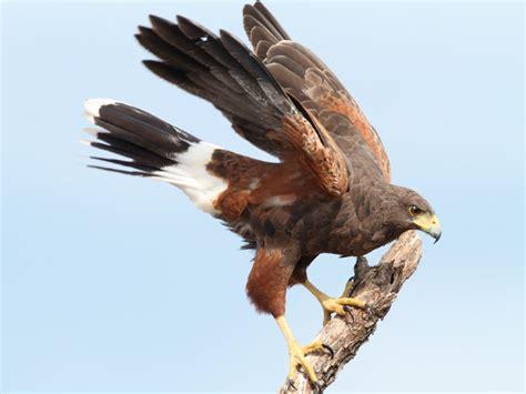 ecobirder harris hawk