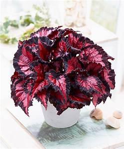Buy house plants now Leafy Begonia Beleaf® 'Inca Night